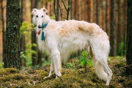 俄国狼犬狗狗品种介绍【图】